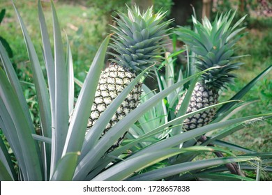 Green pineapple tropical fruit growing in farm garden.