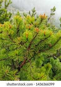 green pines grows in slovenia