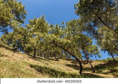 Green pines on the mountainside, Dakshinkali Nepal