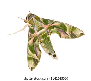 The green and pink camouflage-colored oleander hawk-moth or army green moth, Daphnis nerii, is isolated on white background. Hawkmoths resemble butterflies but have small very fast-beating wings.