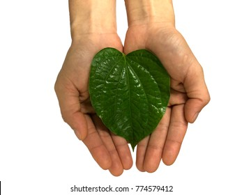 Green Piper betel leaf in hands isolated on the white background. Thai herb, Thai food (Wildbetal Leafbush) (Piper sarmentosum Roxb)