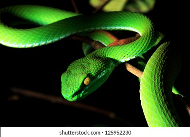 Pit Viper Images Stock Photos Vectors Shutterstock