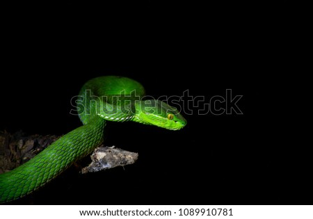 Green Pit Viper On Black Background Stock Photo (Edit Now