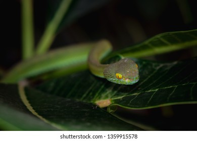 green pit viper on tree (poisonous green snake)