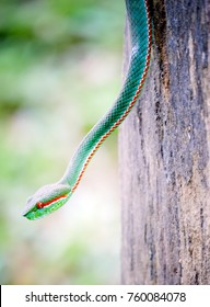 Green Pitviper.The poison is a little poisonous.The brown tail side is white and red.
