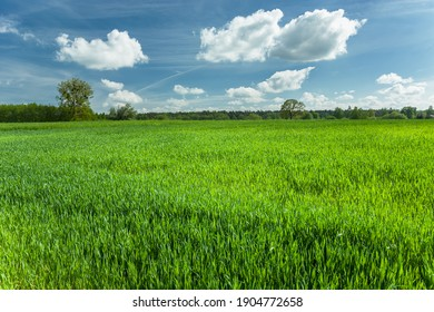 Green plant in the field and white clouds on a blue sky, spring rural view