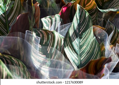 the Green plant in the garden. Fresh green and white leaf background (Dieffenbachia).