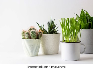Green plant, grass in a cup on a white background. Houseplants, potted succles. Minimalistic concept. Sprouts..