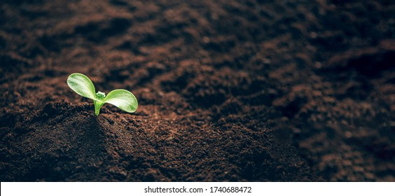 Green plant growing in good soil. Banner with copy space. Agriculture, organic gardening, planting or ecology concept. Young sprouts, seedlings growing. New life concept