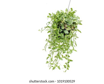 green plant hanging isolated collection on white background