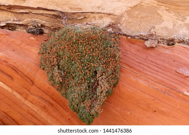 Green plant hanging on red rock, Vermilion Cliffs National Monument, AZ