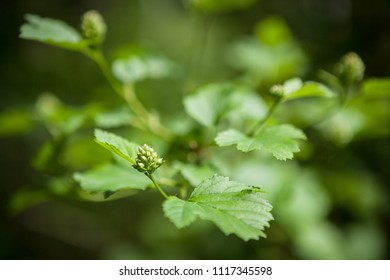 Green plant leaves and bud in garden