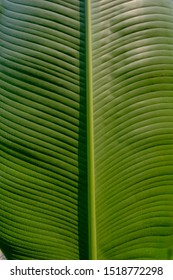 Green plant plantain's leaf texture. The veins are neatly arranged to form an abstract structural pattern