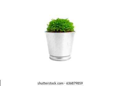 Green plant in silver metal pots on white background.