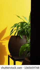 Green plant spathiphyllum in concrete pot on against yellow wall. Background