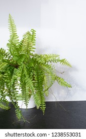 green plant type fern in a vase on a black table with a white background. Fern indoor plant in pot