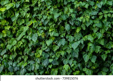 Green Plant wall, background and texture