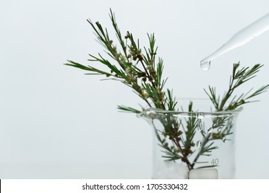 green plant with white small flower in science beaker with water drop from glass dropper in medical cosmetic research laboratory