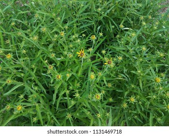 green plant with yellow flowers opening