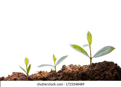 Green plants before growing into trees. germinating seedling step sprout grows from soil isolated on white background with clipping path. Nature ecology and growth concept with copy space.