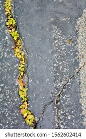 Green plants breaks through crack in asphalt. Sign of thirst for life, craving for life. Save the earth. Close up view of grass breaks through asphalt. Weed growing in crack in asphalt