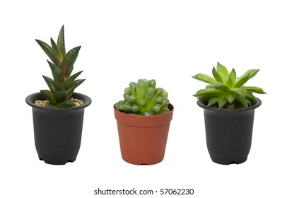 green plants in flower pots on white background. potted cactus