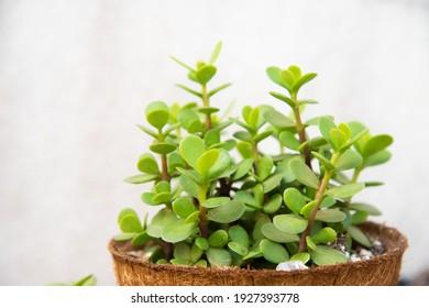 Grüne Pflanzen portulacaria afra in braunem Topf.