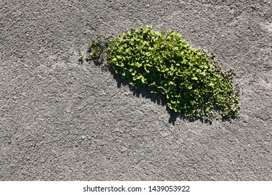 green plants sprouted in the asphalt. City and man-made versus force of nature