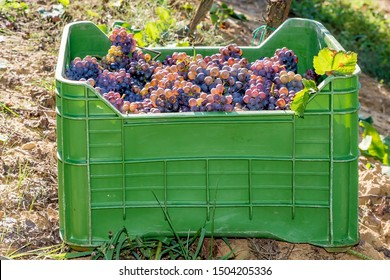 Green plastic box full of bunches of black grapes resting on the ground in the vineyard during the harvest