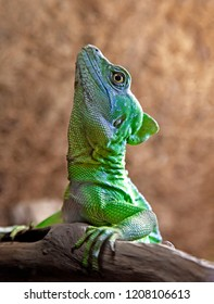 Green or plumed basilisk close up
