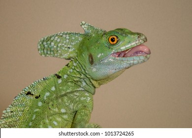 Green or Plumed Basilisk Lizard, also known as the South American Jesus lizard for its ability to run on the surface of water.