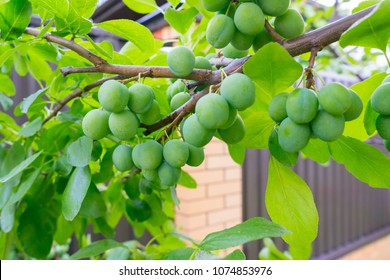 Green plums on branch against blurred background