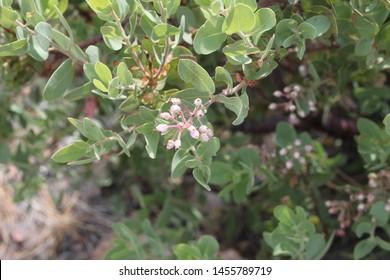 a green pointleaf manzanita shrub plant 8093