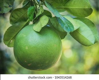 green Pomelo growing on a tree in Thailand
