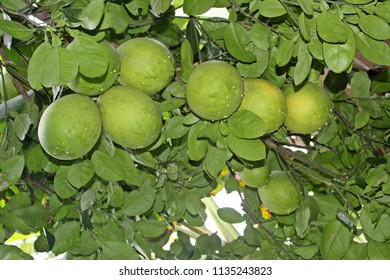 Green pomelo growing on a tree. Nature green concept.It is also known as Citrus maxima or Citrus grandis, Seychelles,green shaddock  is a natural (non-hybrid) citrus fruit.
