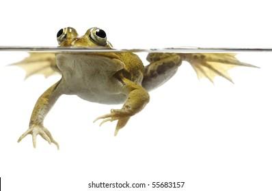green pond frog swimming isolated on white rana esculenta pelophylax lessonae freshwater pond animal spring amphibian underwater