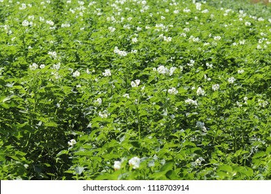 Green potato bushes blooming white on the plantation. Maturation of the future harvest. Agrarian sector of the agricultural industry. A plant of a farm economy. Growing of nightshade plants.