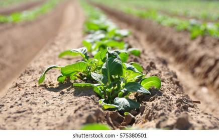 Green Potato Field. Organoc vegan cultivated.