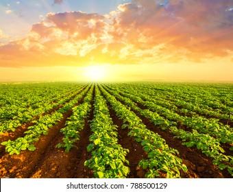 green potato field scene at the sunset