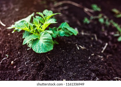 Green potato plant. Leaf of vegetable. Organic food agriculture in garden, field or farm. Growth of crop. Rural nature in summer. Natural outdoor background.