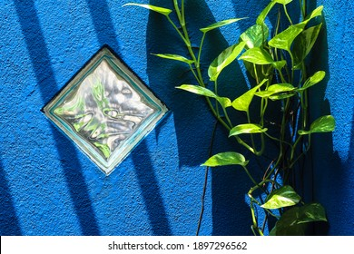 Green Pothos creeper growing up a blue rendered brick wall with a diamond glass window and the sun shining down creating contrasting shadows