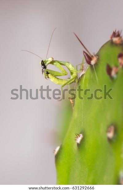 Green Praying Mantis Nymph Ant Biting Stock Photo Edit Now 631292666