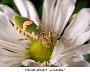 green praying mantis on flower  Mantis religiosa