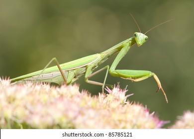 green  praying mantis on flower / Mantis religiosa