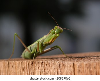 Green praying mantis on wood looking into the camera