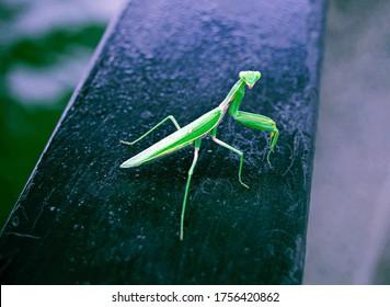 Green praying mantis. Mantis or Praying Mantis, Mantis Religiosa.