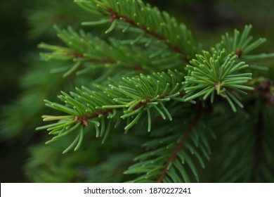 Green prickly branches of a fur-tree or pine. Fluffy fir tree branch close up. background blur - Shutterstock ID 1870227241