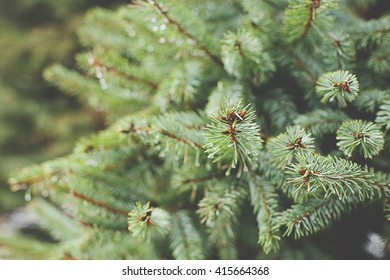 green prickly branches of pine tree