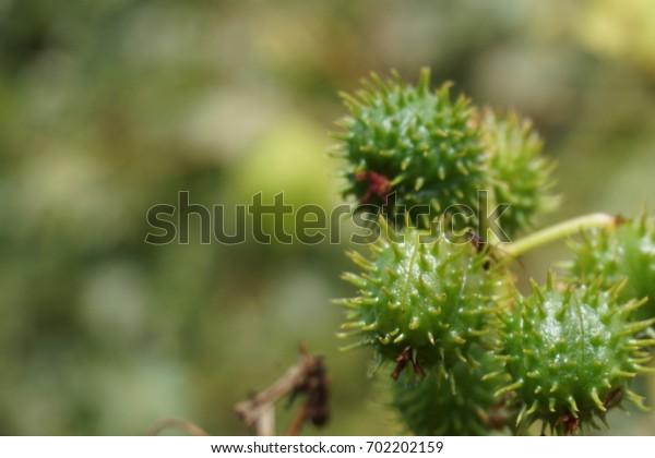 Green prickly cones