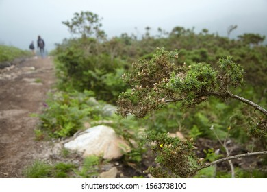 Green prickly shrubs growing on the slopes of the Pyrenees mountains, selective focus, blurry people silhouettes and hiking trail on background. French nature, wild shrubs